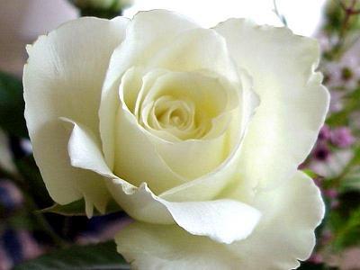 rosa-branca